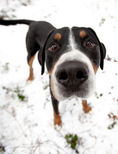 Dog Food Rules Mountain Dog Swiss