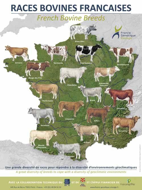 les 25 meilleures id233es de la cat233gorie race de vache sur