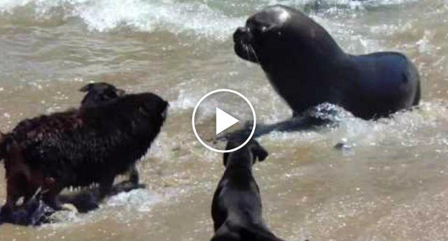 Leões-marinhos Recebem Visita Inesperada De Cães Que Insistem Em Entrar Na Água http://www.funco.biz/leoes-marinhos-recebem-visita-inesperada-caes-insistem-entrar-na-agua/