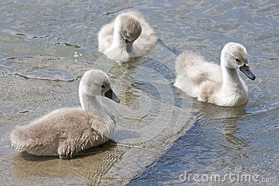 A brood of chicks swan swimming in the river