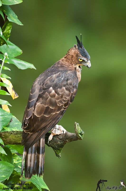 The Wallace's hawk-eagle (Nisaetus nanus) is among the smallest eagles in the world
