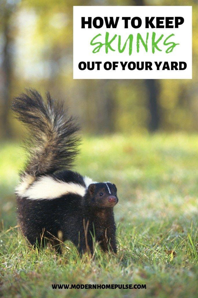 How To Keep Skunks Out Of Your Yard Skunk Repellent Getting Rid Of Skunks Skunk
