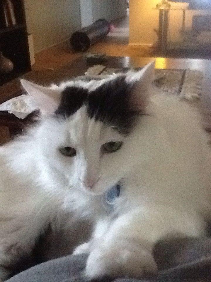 Türkisch Van Cat ~~~ Marks in der Nähe ihrer Ohren, so viel wie bei … – Katzen
