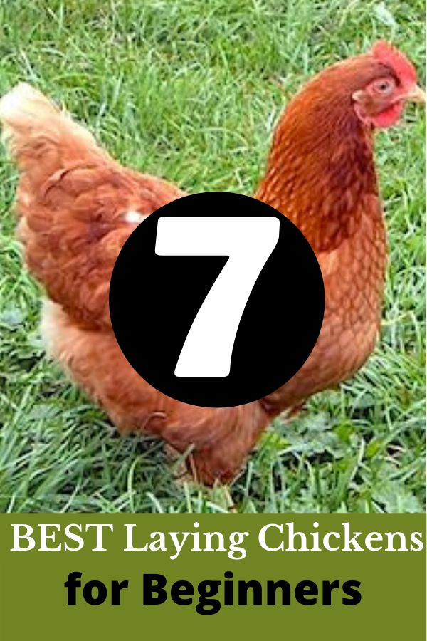 7 Best Laying Chickens for Beginners in 2020 (With images ...