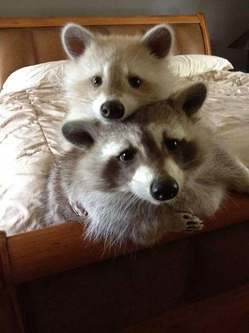 I want pet raccoons >_>                                                                                                                                                                                 More
