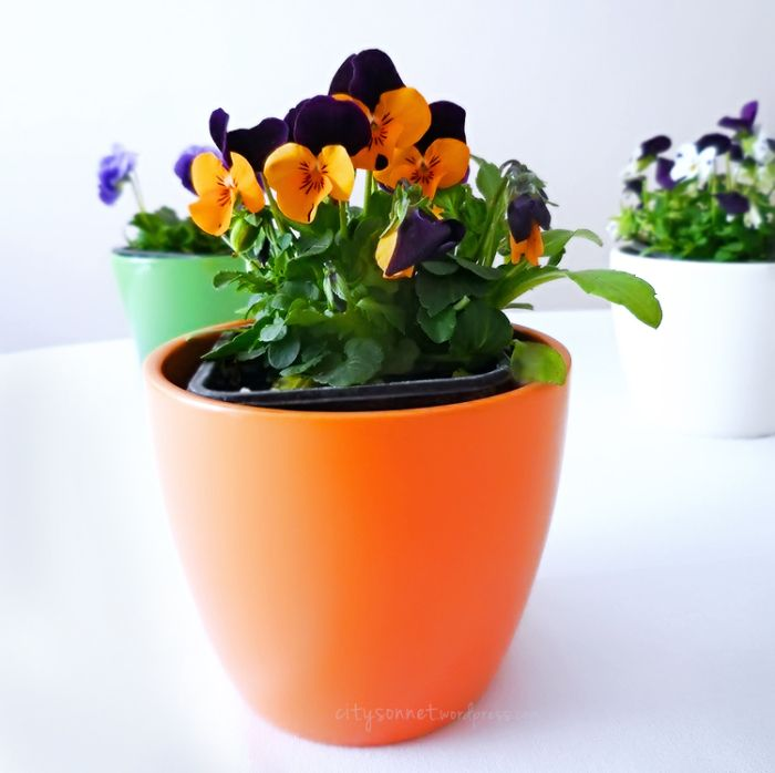 Violas – These cheerful flowers, with their smiling faces are pretty…