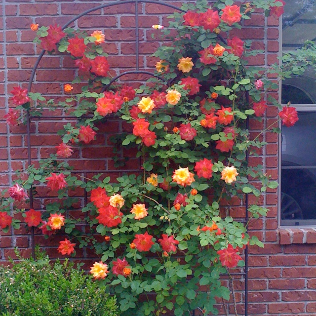 my rose bush nice colors roses pinterest rose bush gardens and flowers. Black Bedroom Furniture Sets. Home Design Ideas