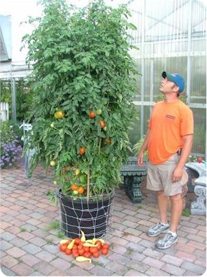 Delightful Find This Pin And More On Tomato Gardens By Mygardenthings.