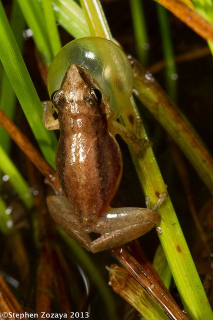 Javelin Frog (Litoria microbelos)