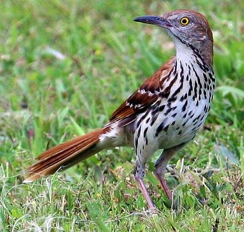 Brown Thrasher foraging.  We have a pair in our backyard, and one has a strange thing sticking out almost like something is riding on its back, but we suspect it is a broken part of his wing or something.  He can fly and run just fine!