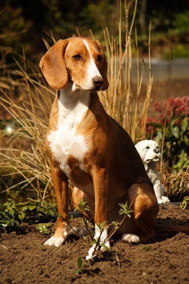 hound dog deutsch