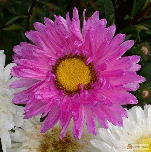 Asteraceae Callistephus Chinensis | Callistephus chinensis 'Leuchtrosa' -- Chinesische Sommeraster ...