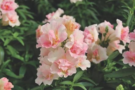 Bring butterflies to your beginner's garden with pink and cream snapdragons (Antirrhinum majus) like 'Twinny Appleblossom'. These plants bloom heavily and stand up to the often harsh weather in spring and fall.