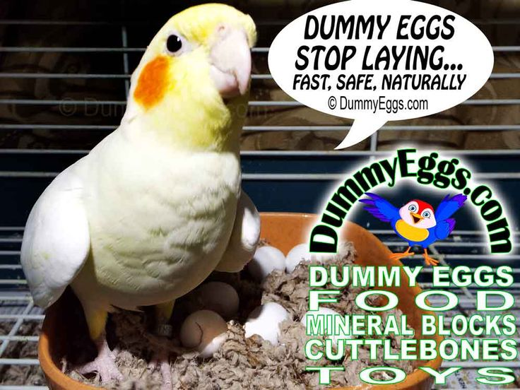 how to stop your cockatiel from laying eggs