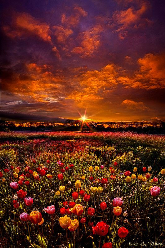 Sunset in tulip field, Wisconsin