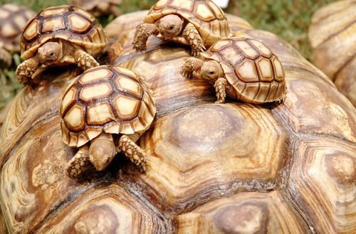 tartarughe (Tortoises). They are hitching a ride. They are clever things and look like Petable Turtles in Second Life.