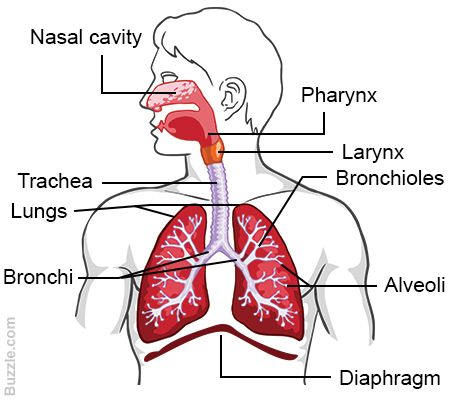 The trachea, also referred to as our windpipe, is what filters the air we breath and then branches it to the bronchi. The bronchi are two tubes that connect the trachea to the lungs. This is a picture of the respiratory system with labels.