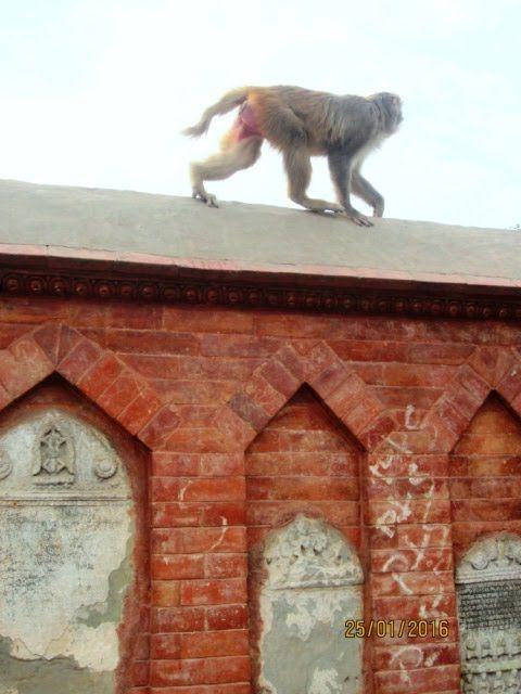Непал. Обезьяны, собаки и голуби.