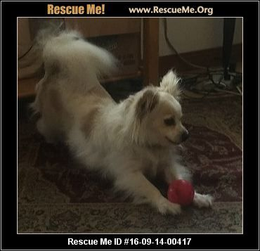 ― Massachusetts Pomeranian Rescue ― ADOPTIONS ― RescueMe.Org