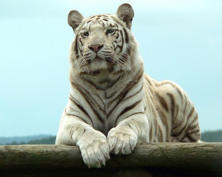 white siberian tiger - photo #15