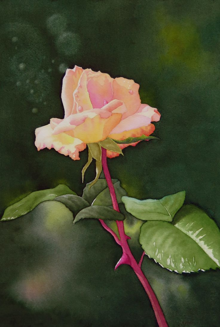 A rose in  friend's garden - irresistible to me to paint.