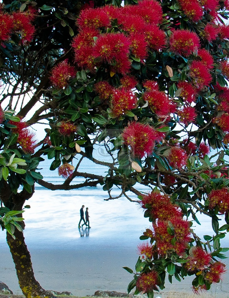 Summer in New Zealand (Dec- to app March) sun, surf, sand, and Pohutukawa trees in bloom!