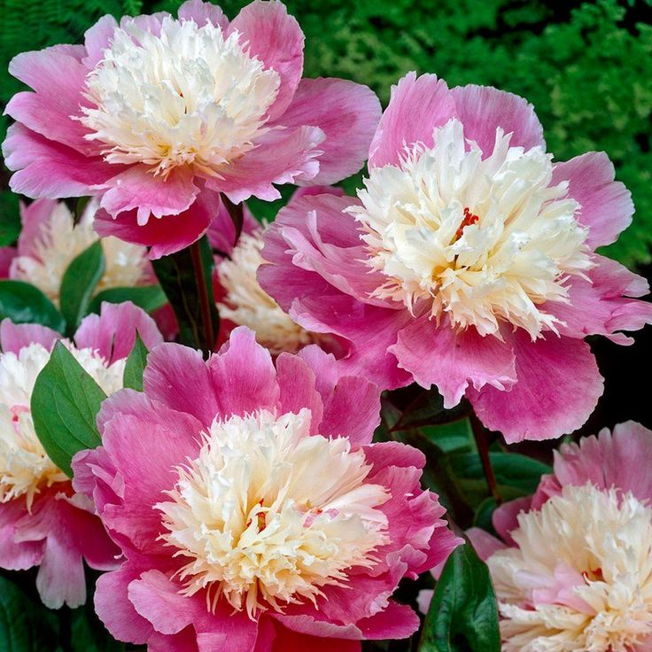 Bowl of Beauty Peony Roots (5-Pack)