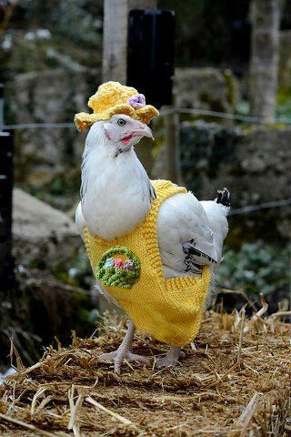 Chicken in a jumper. And a hat.