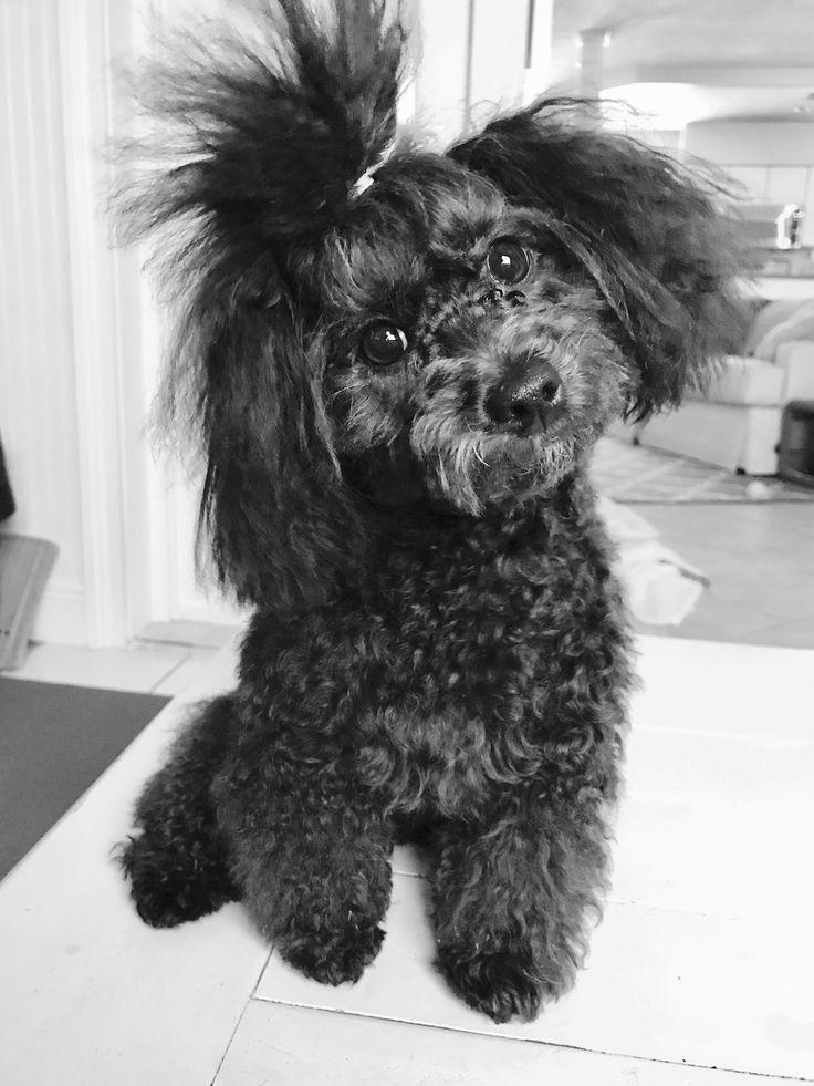Toy poodle ~ Sweet lil Finn