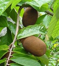 Cupuaçu (Theobroma grandiflorum (Willd. ex Spreng.) K. Schum., Sterculaceae) Origem: Brasil – região amazônica