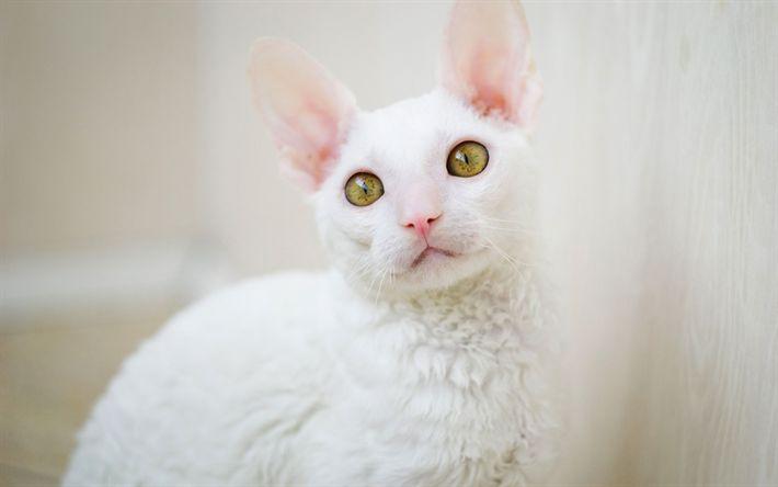 LaPerm Cat, 4K, weiße flauschige Katze, Haustiere, süße Tiere, Katzen, Langhaarkatzenzucht # … – cats