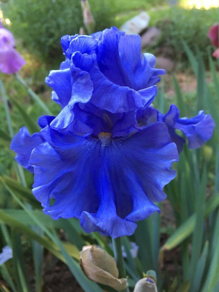 Iris 'Merchant Marine' uploaded by NGA member lharvey16 Garden.org