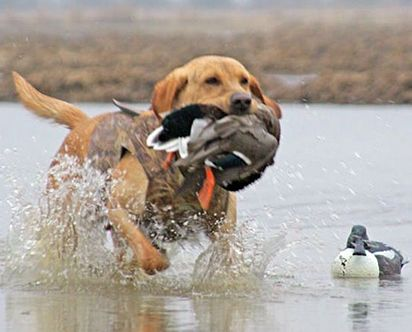 duck hunting dogs - Google Search