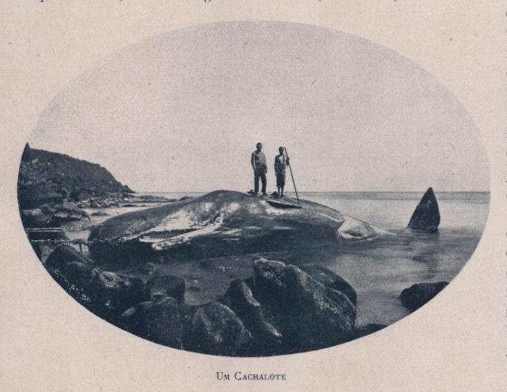 """1903, Ilha de São MiguelActividade baleeira na Ilha de S. Miguel em 1903. Ilustração no """"álbum Açoriano"""" de 1903, editado para ..."""
