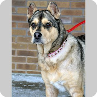 Freya - Husky - 10 yrs old - Alliance for Responsible Pet Ownership, Inc. - Fishers, IN - http://www.adoptarpo.org http://www.adoptapet.com/pet/10112883-fishers-indiana-husky https://www.facebook.com/adoptarpo