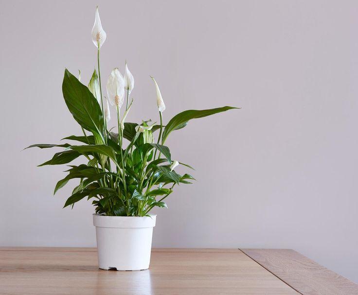 Niektoré bežné izbové rastliny môžu poskytovať prirodzený spôsob odstraňovania toxických činidiel zo vzduchu, čo pomáha neutralizovať účinky syndrómu chorých budov. Eliminujú významné množstvo benzénu, formaldehydu a trichlóretylénu a ostatných škodlivín. Jednou z týchto rastlín je aj lopatkovec.