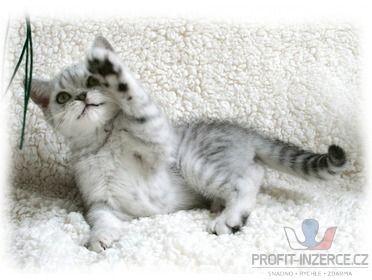 BRI stříbřitá koťátka - Whiskas s PP [yn.jpg]