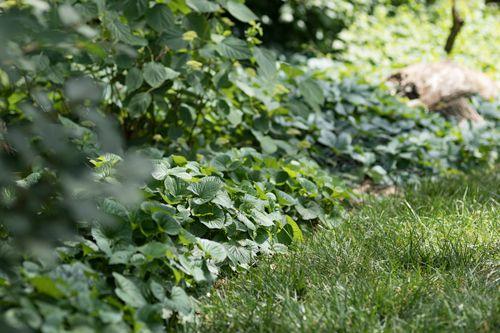 PLANT NATIVE GROUND COVERS & MAKE AMERICA GREEN AGAIN