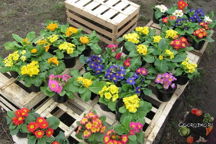 Выращивание примулы из семян в домашних условиях –как проводится стратификация семян, чем подкормить рассаду, уход за растением, почему не цветет