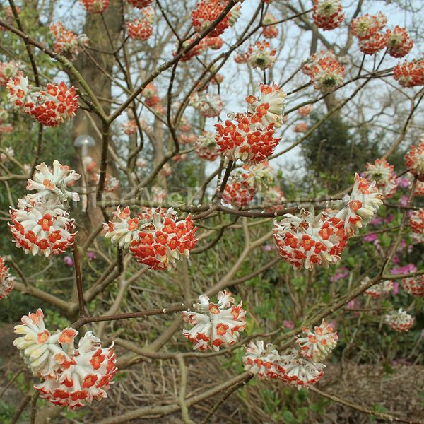 Edgeworthia chrysantha - 'Red Dragon'
