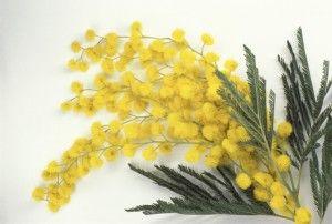 Olio essenziale di mimosa, scopriamo le proprietà della pianta regalata per la festa della donna...