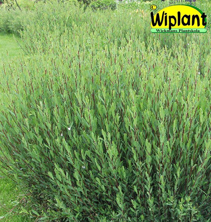 Salix purpurea 'Nana', Dvärgrödvide. Buskig växt, röda grenar, gråa blad. Höjd: 1-1,5 m.