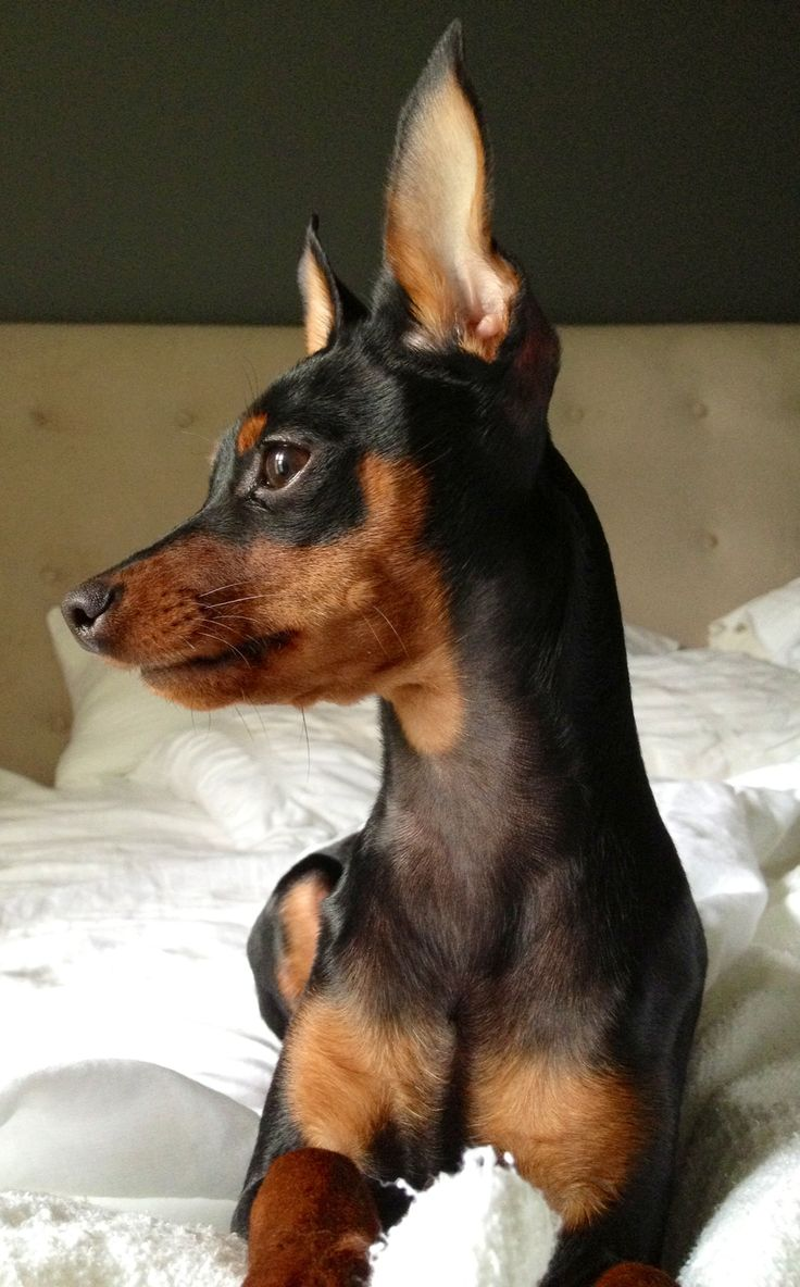 My Min Pin Maximus. Best doggy ever!