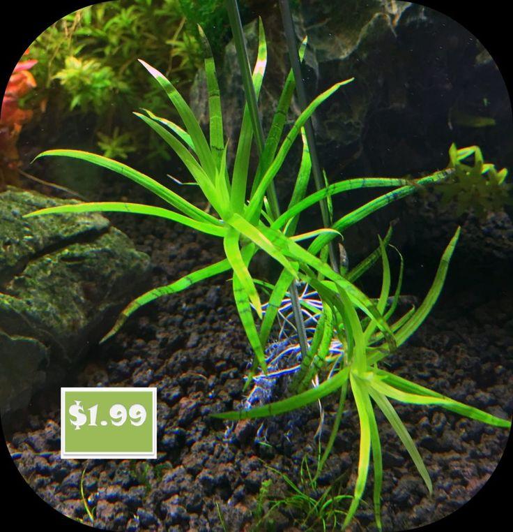 Heteranthera zesterifolia – star grass (2)