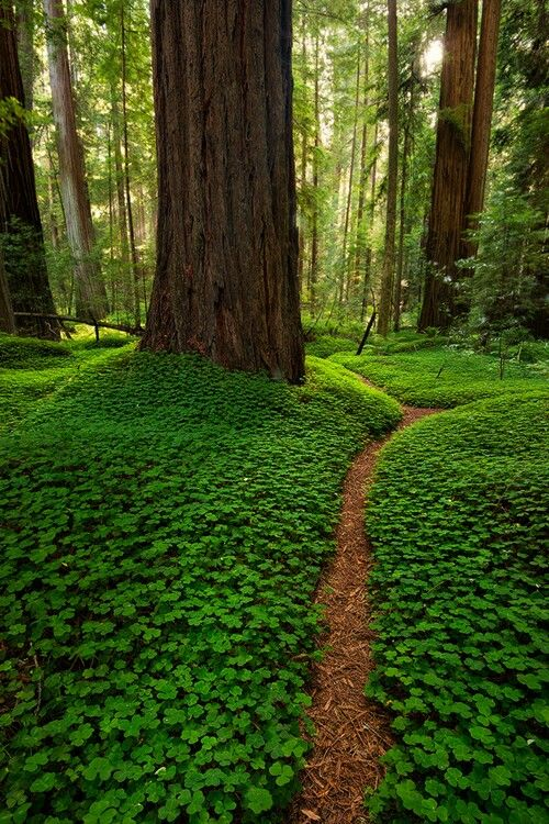 A forest in Oregon. The forest floor is covered by Oxalis oregana, a species of wood sorrel. Beautiful.