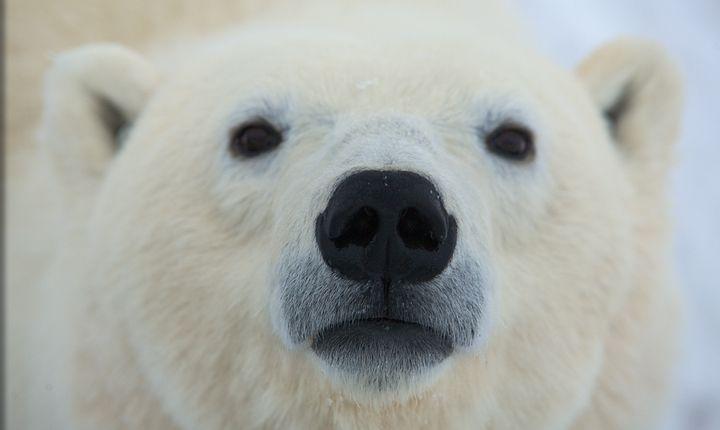 polarbear tours in Churchill, Canada