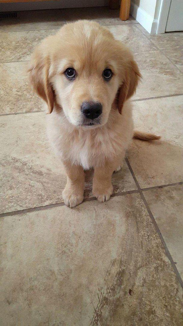Golden Retriever Pup Dogs Golden Retriever Cute Dogs Retriever