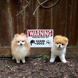 When they were dangerous. | 42 Times Boo And Buddy Were The Cutest Dogs In The World In 2014