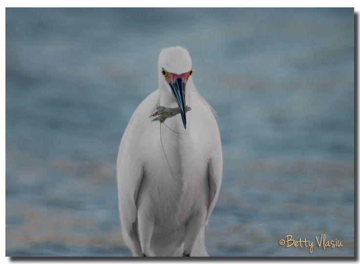 https://flic.kr/p/RAP5XE | Snowy Egret Fishing