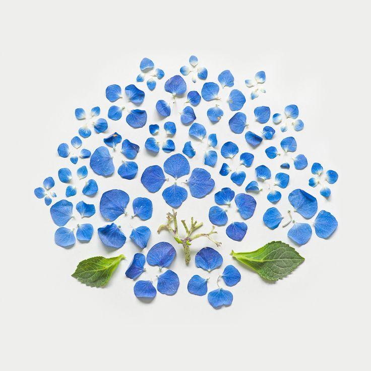Fong Qi Wei, Hydrangea, Exploded Flower series